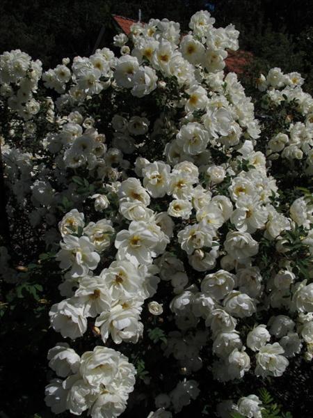 Blommande vit nyponros