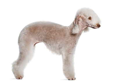 Bedlingtonterrier.jpg