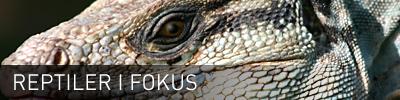 Sidhuvud för Reptiler iFokus. Länk till startsidan för denna sajt