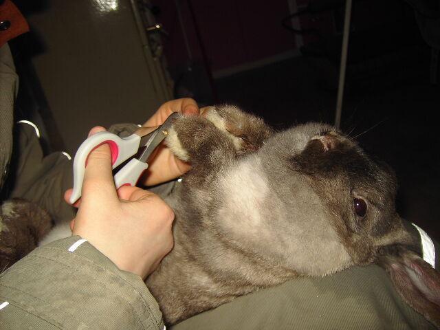 klippa klor kanin